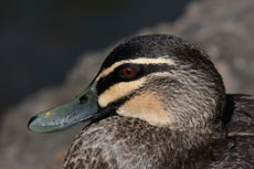 image Pacific Black Duck